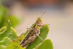 Adult Stridulating Slantface Grasshopper photo