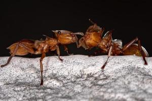 Adult Yellow Turtle Ant photo