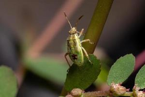Scentless Plant Bug Nymph photo