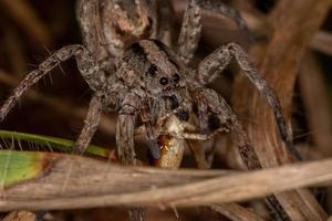 Adult Wolf Spider preying on a short-horned grasshopper nymph photo
