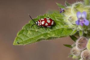 Adult Flea Beetle photo