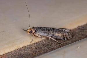 Knot horn Moth photo