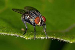 Adult Flesh Fly photo