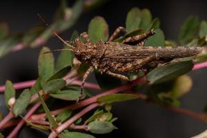 Short horned Grasshopper photo