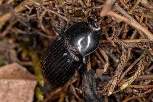 Escarabajo oscuro adulto muerto foto