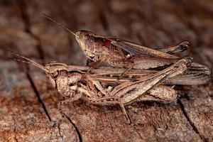 Brazilian Short-horned Grasshopper photo