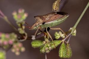 Adult Green belly bug photo