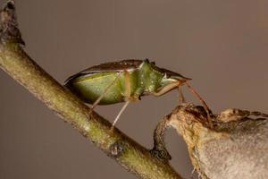 Green belly bug photo