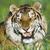 Tigersmile01rgb