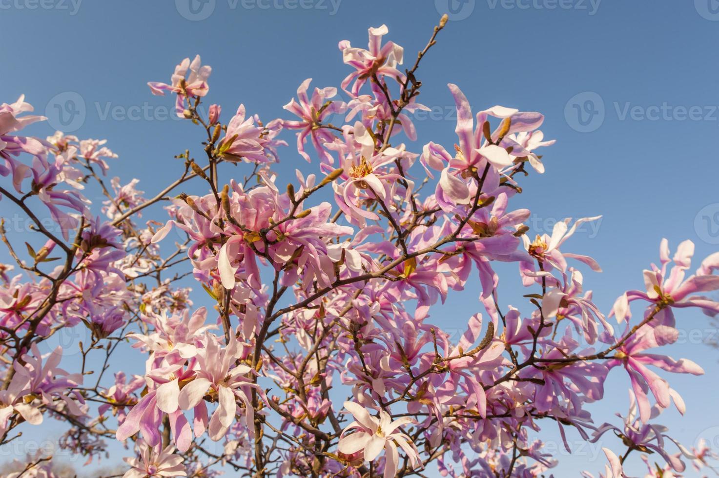 magnifici fiori di magnolia in primavera foto