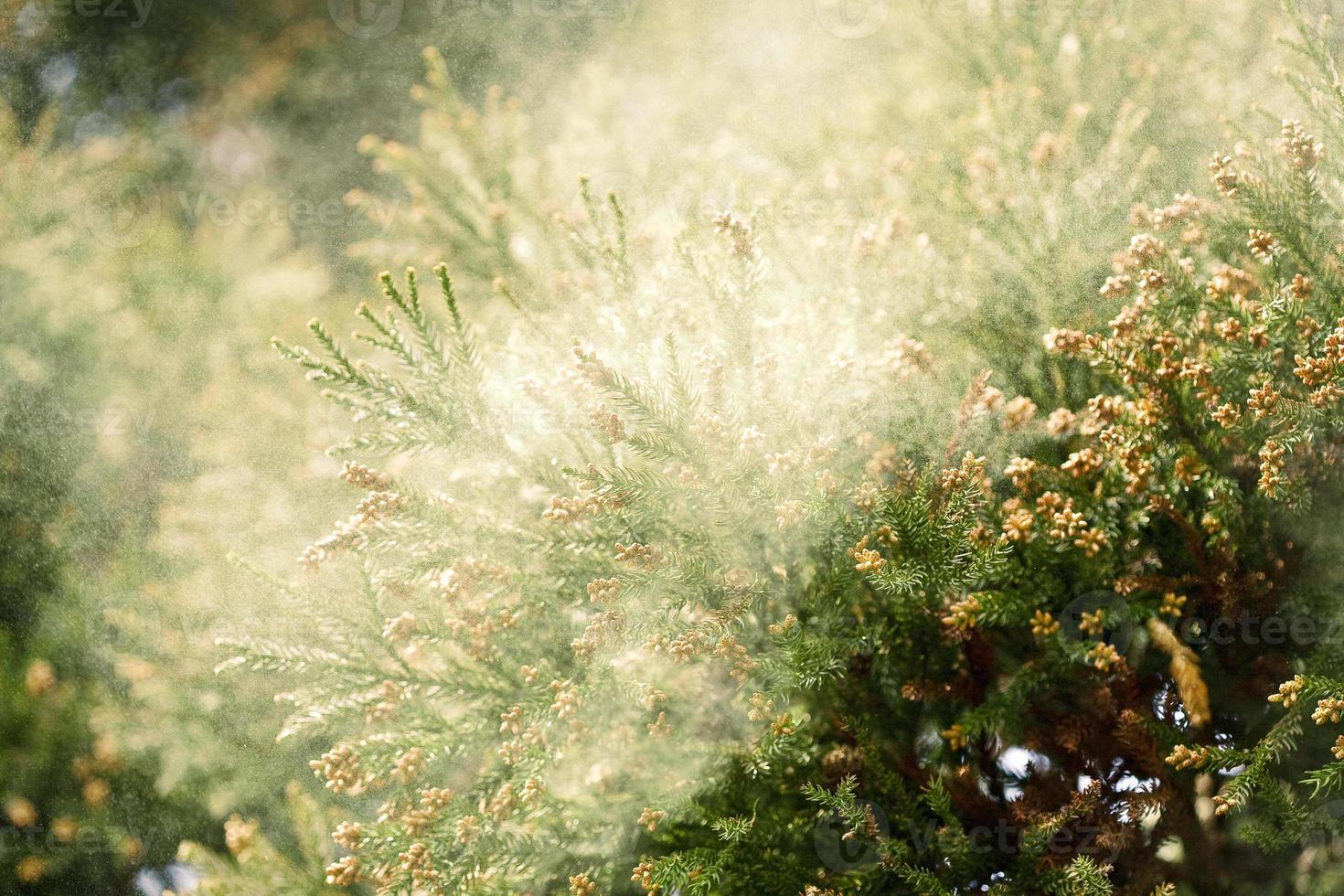 cedro sanbu-sugi foto