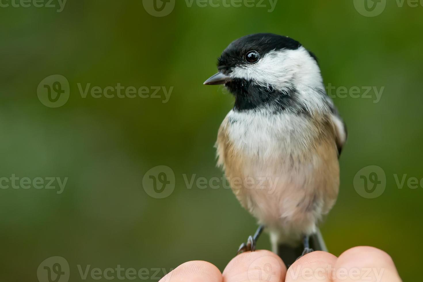 Chickadee nero-ricoperto foto