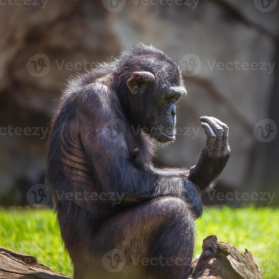 ritratto di uno scimpanzé foto