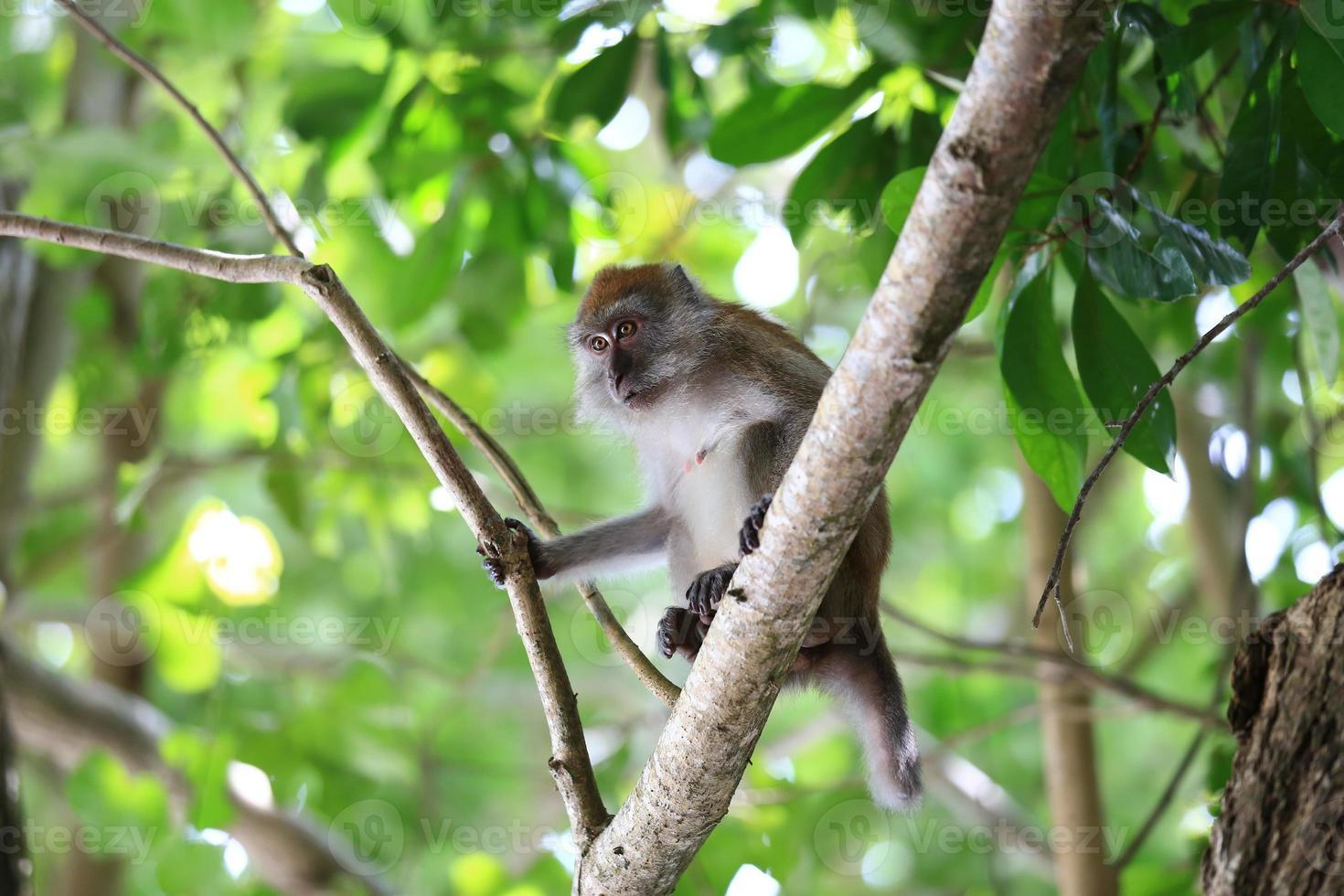 nell'habitat naturale, giocando e spostandosi, isola di Rawi, Satun. foto