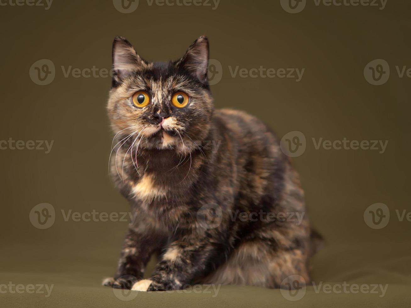 bellissimo gatto guscio di tartaruga con gli occhi gialli foto