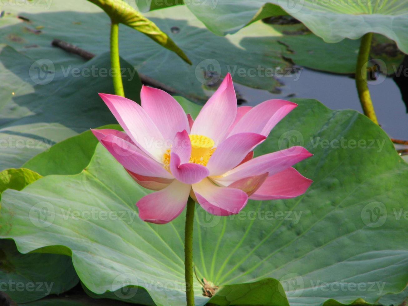 loto rosa foto