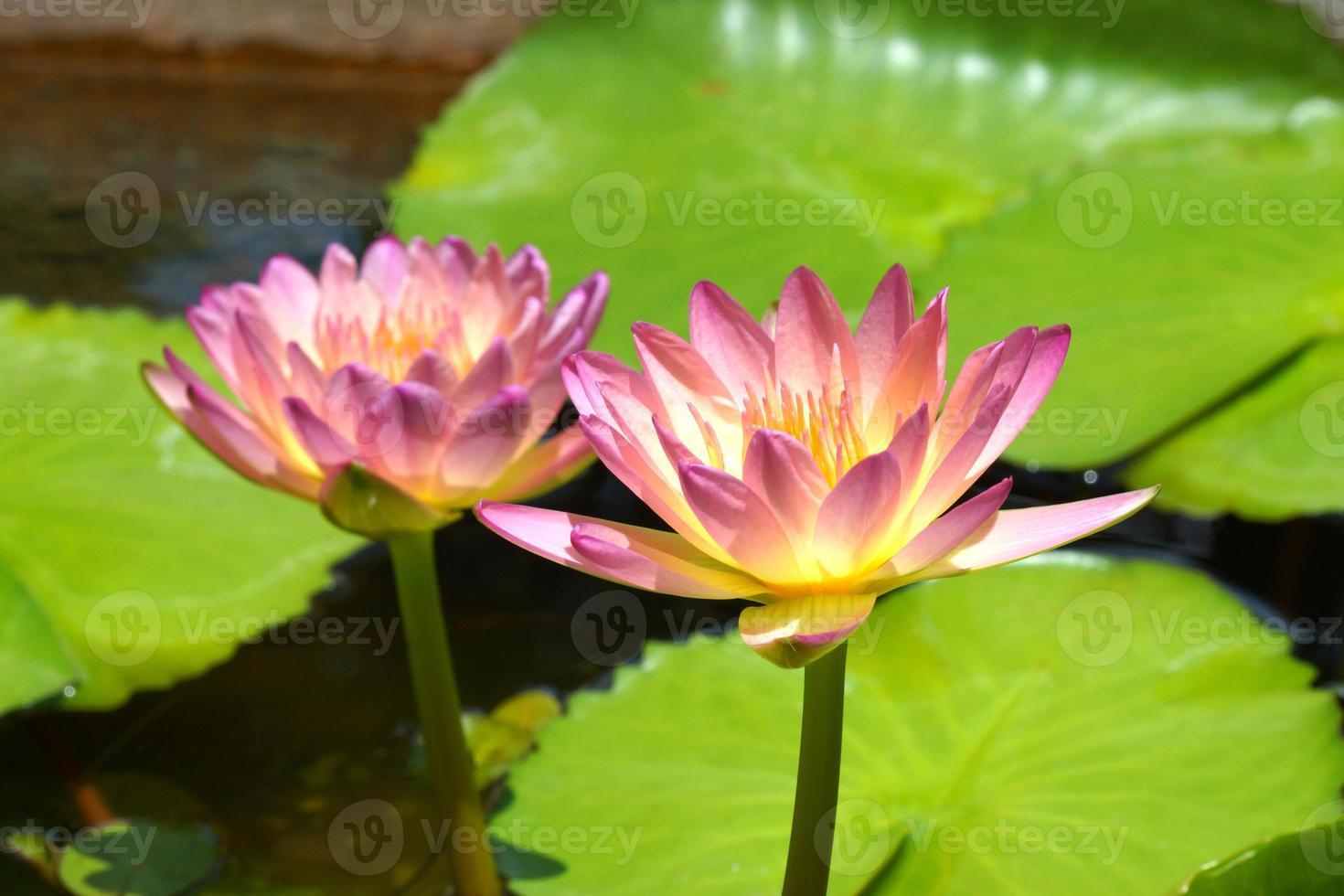 bellissimo fiore ibrido waterlily. foto