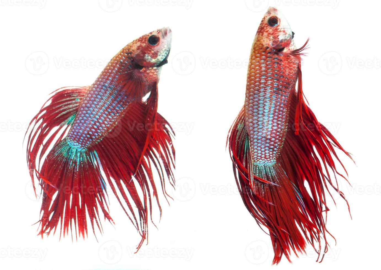 coda rossa pesce siamese da combattimento coda, betta splendens. foto