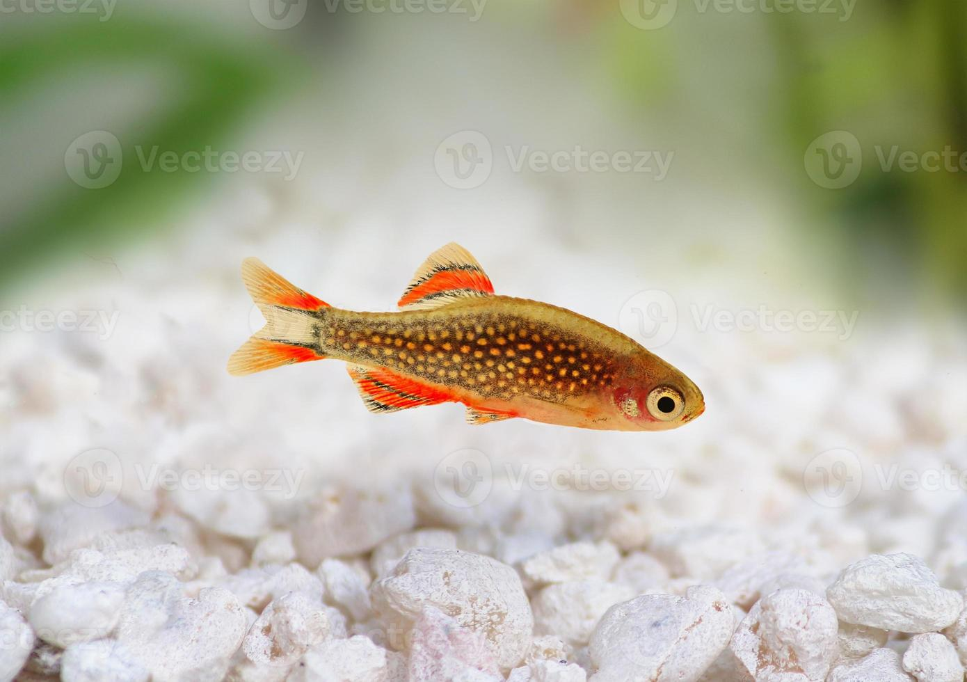 galaxy rasbora danio margaritatus, pesce danio d'acqua dolce perlato foto