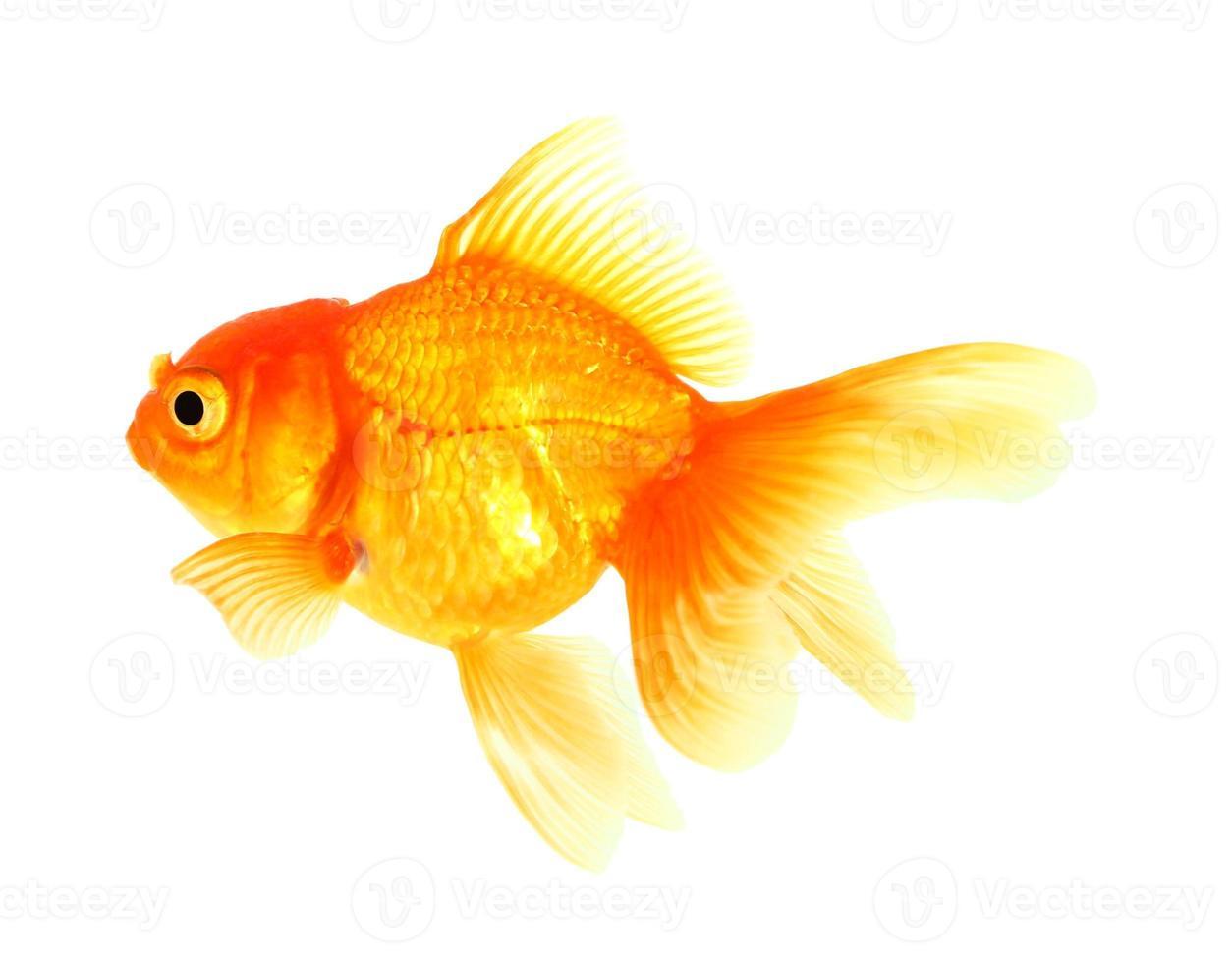 pesce d'oro foto