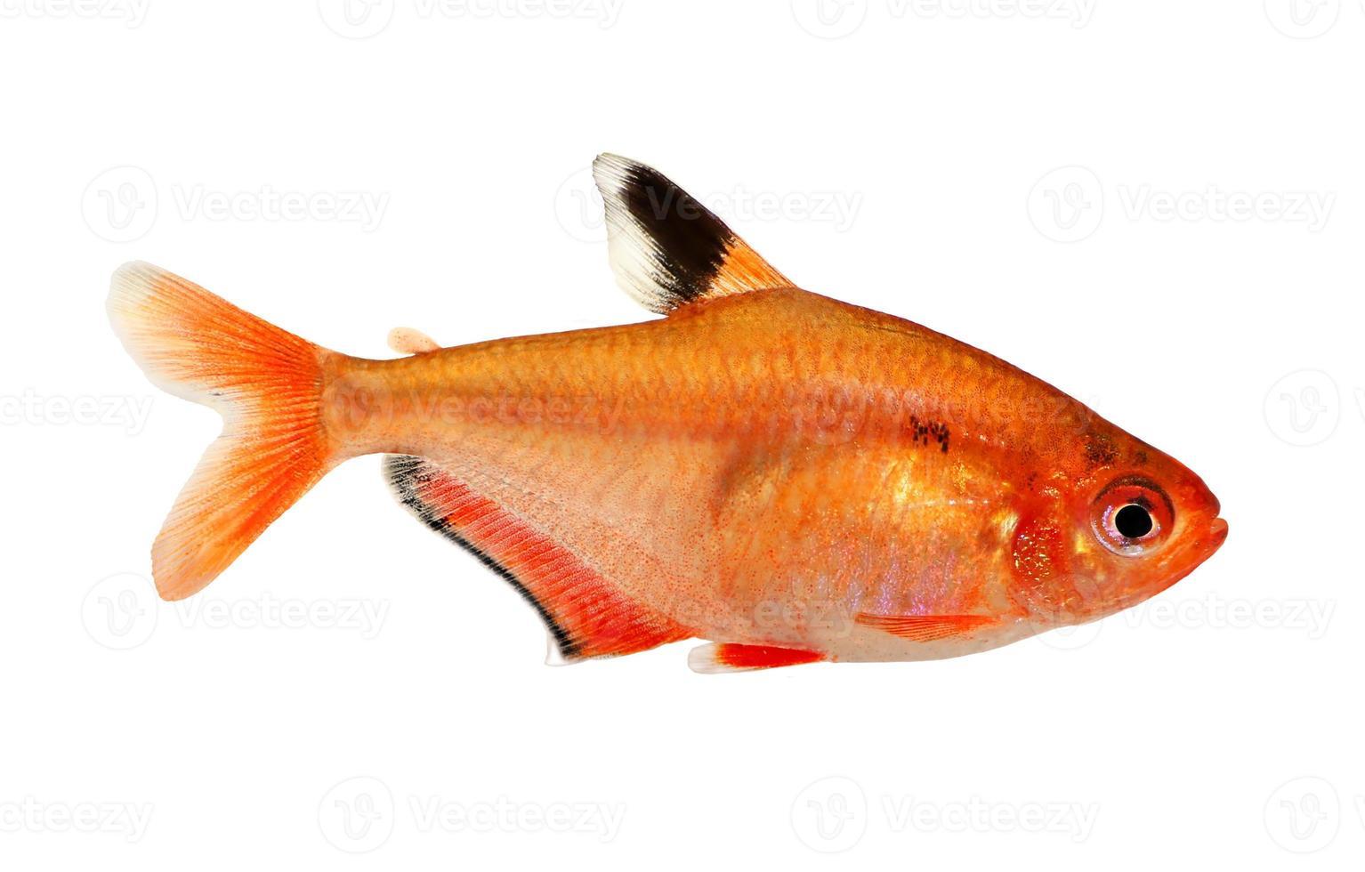 pesci d'acquario serpae tetra barb hyphessobrycon serape eques foto