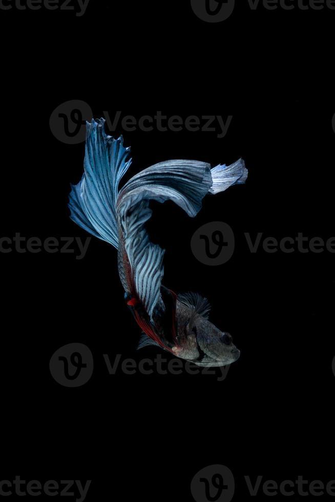 pesce combattente siamese blu isolato su sfondo nero. pesce betta foto