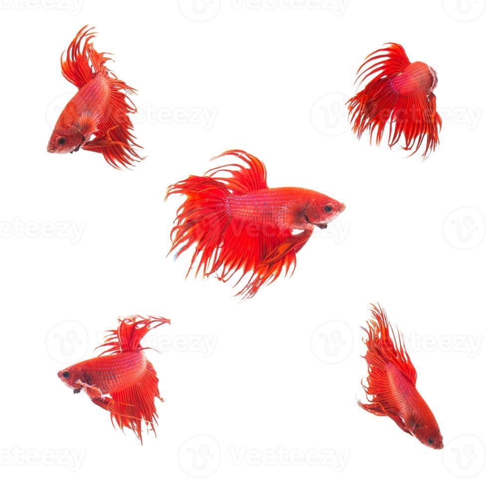 gruppo di raccolta di pesci combattenti siamesi rosso arancio foto