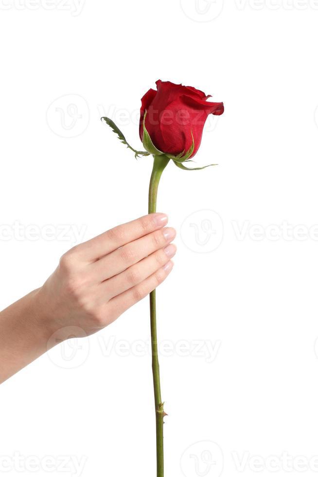 mano bella donna che tiene un bocciolo di rosa rossa foto