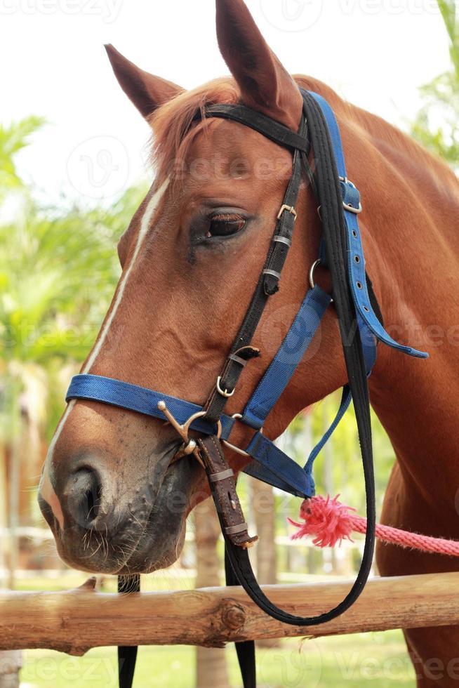 faccia a cavallo nella fattoria foto
