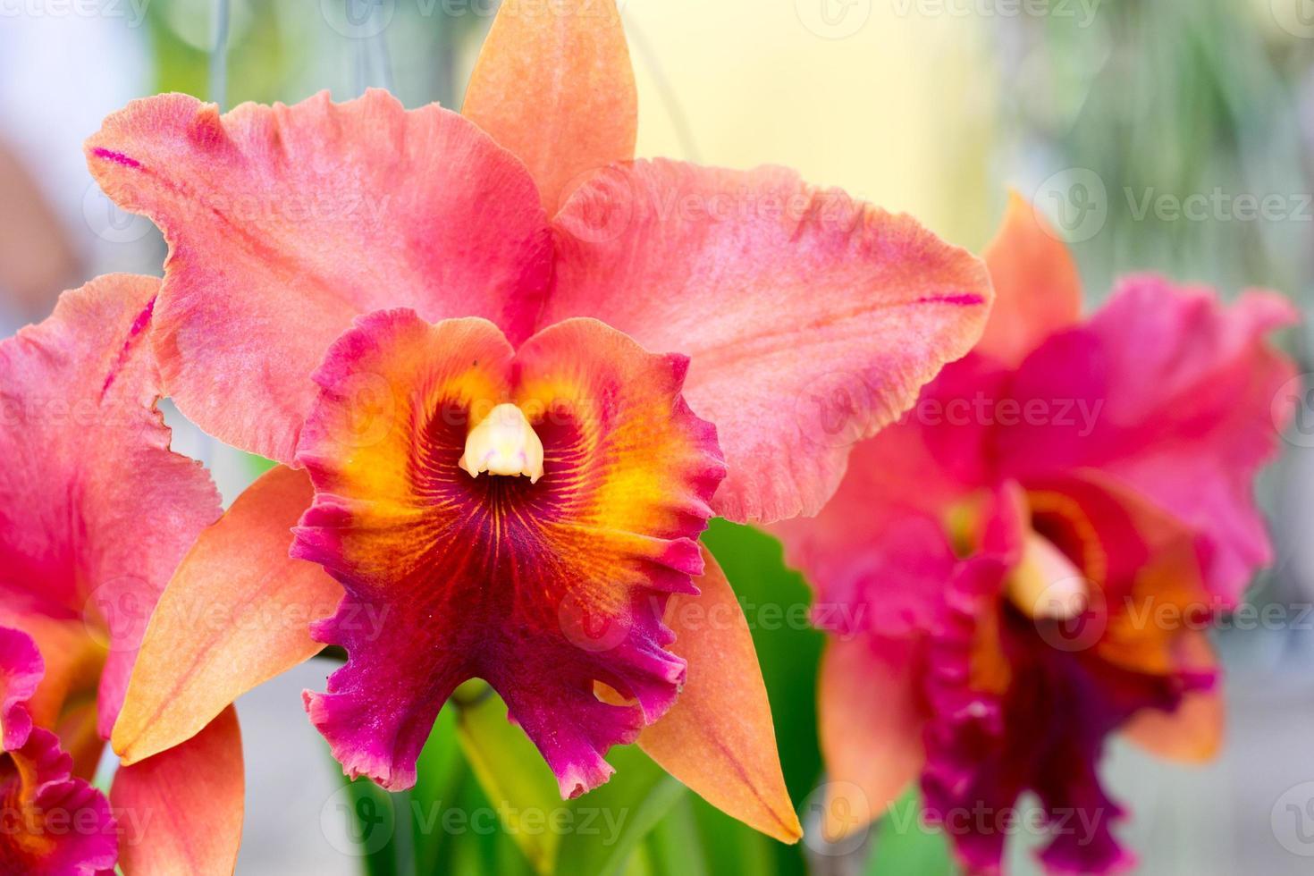 Chiuda in su di bello fiore tailandese dell'orchidea foto