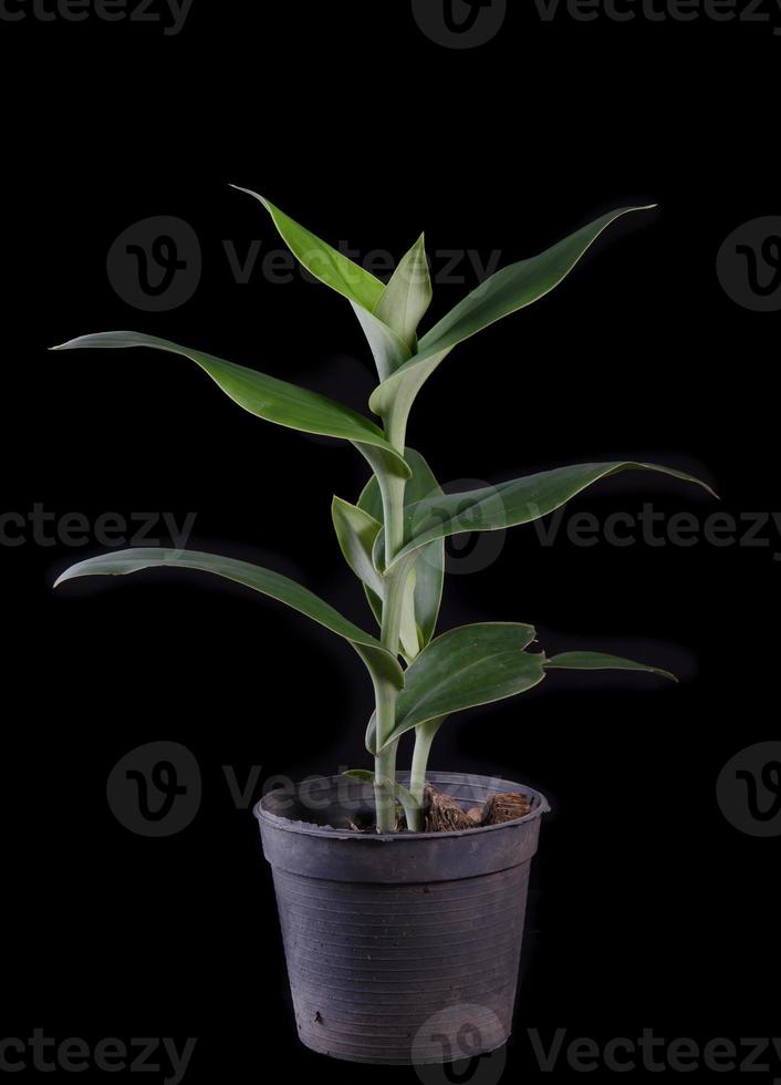 orchidea terrestre, brachycorythis henri, specie autoctona terrestr foto