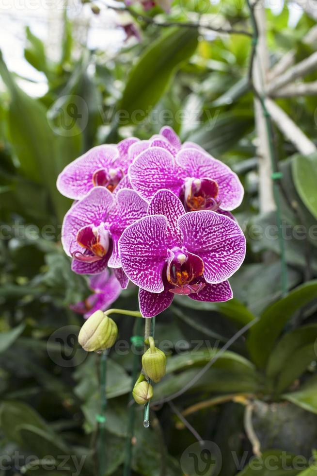 bella orchidea viola in Tailandia foto