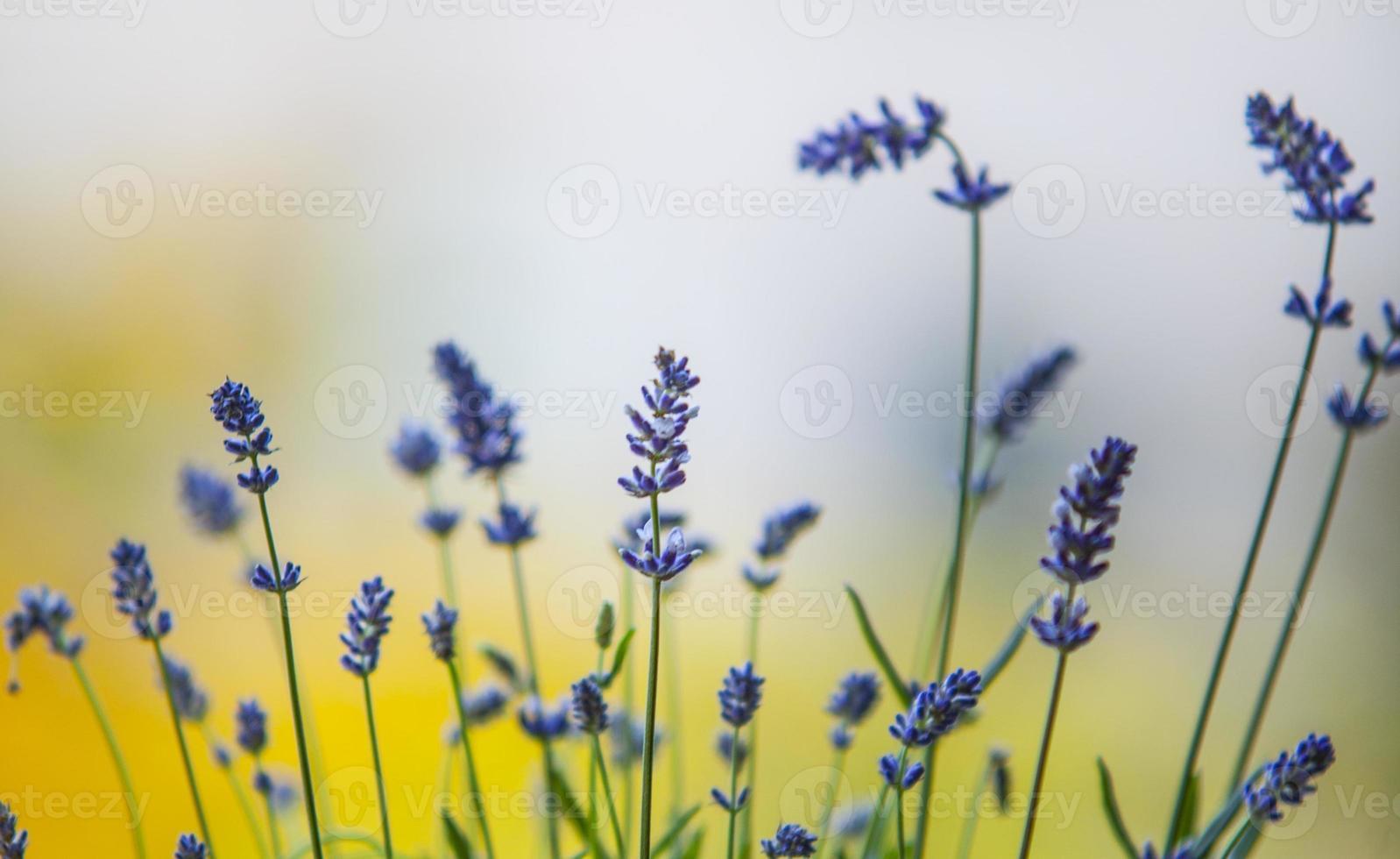 bellissima lavanda nel mio giardino fiorito foto