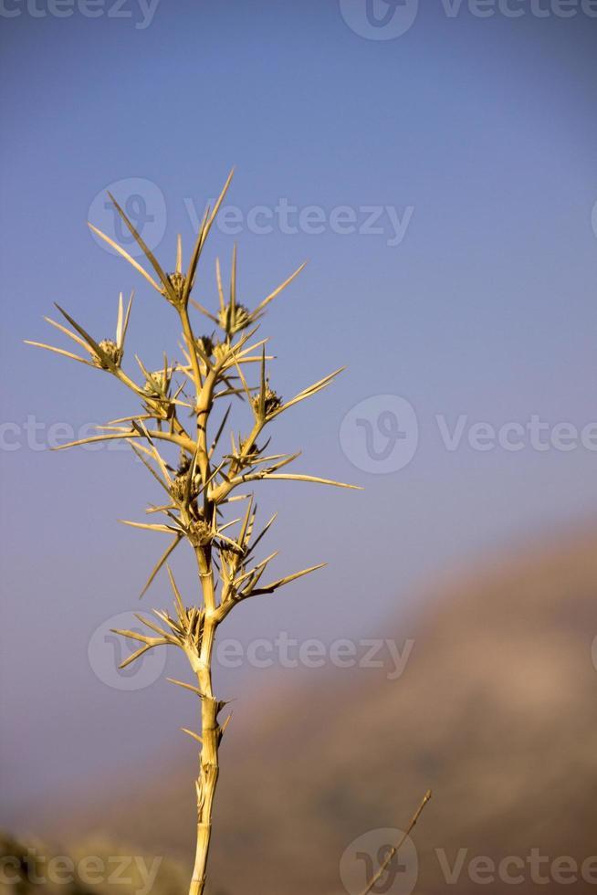 cardo selvatico di deserto cloeseup foto