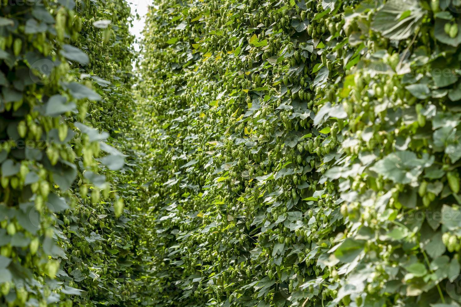 fattoria biologica di luppolo per birra foto