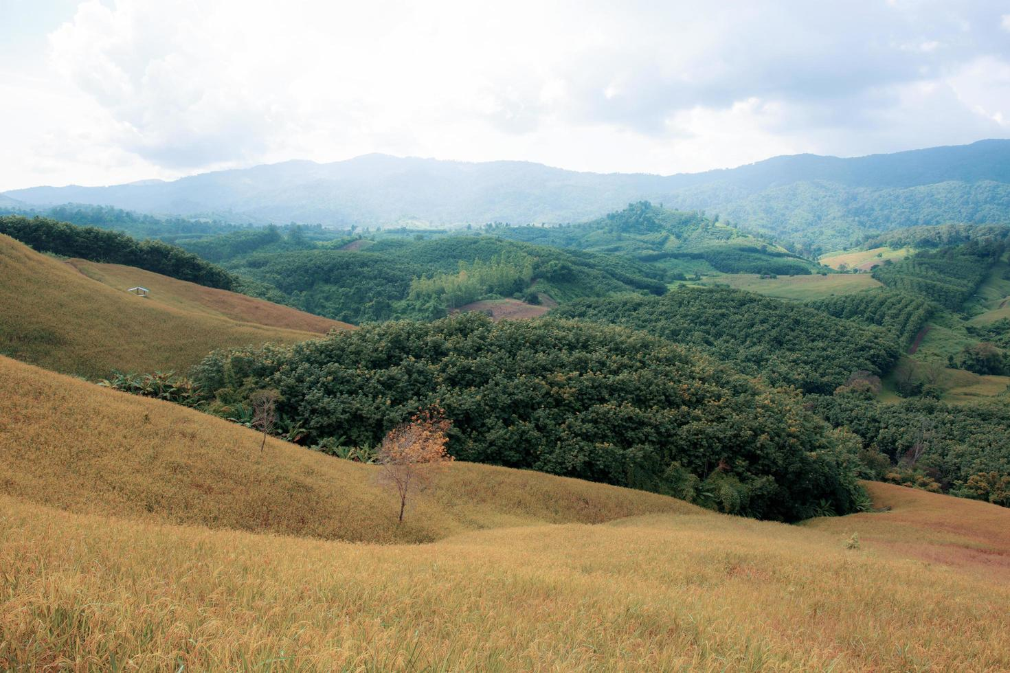 campo di riso sul paesaggio collinare terreno agricolo foto