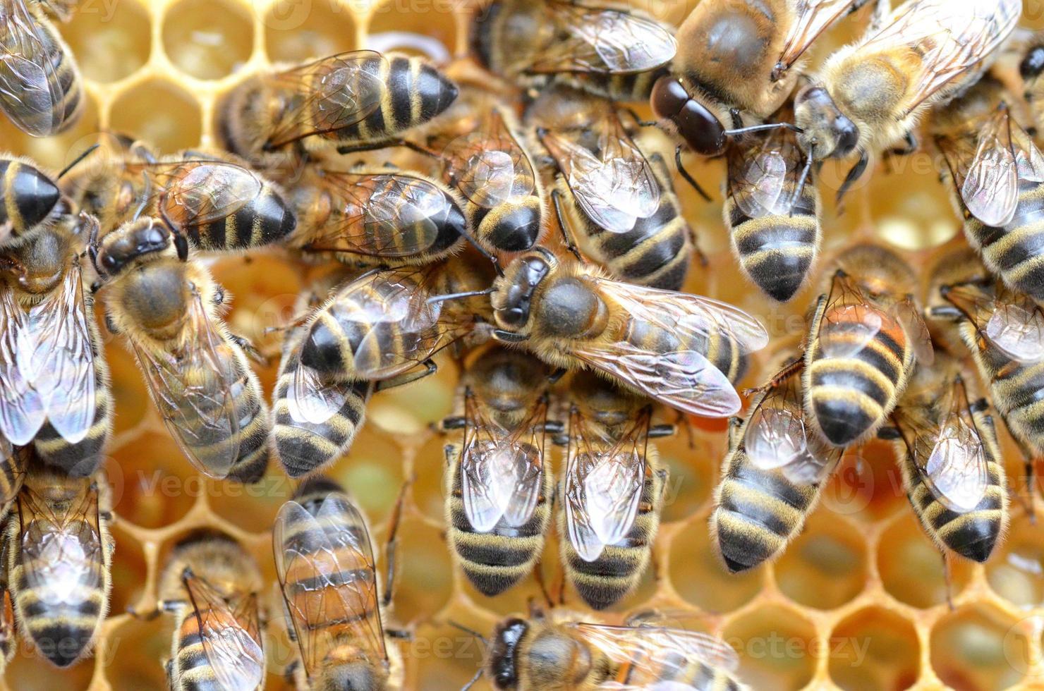 api laboriose a nido d'ape foto