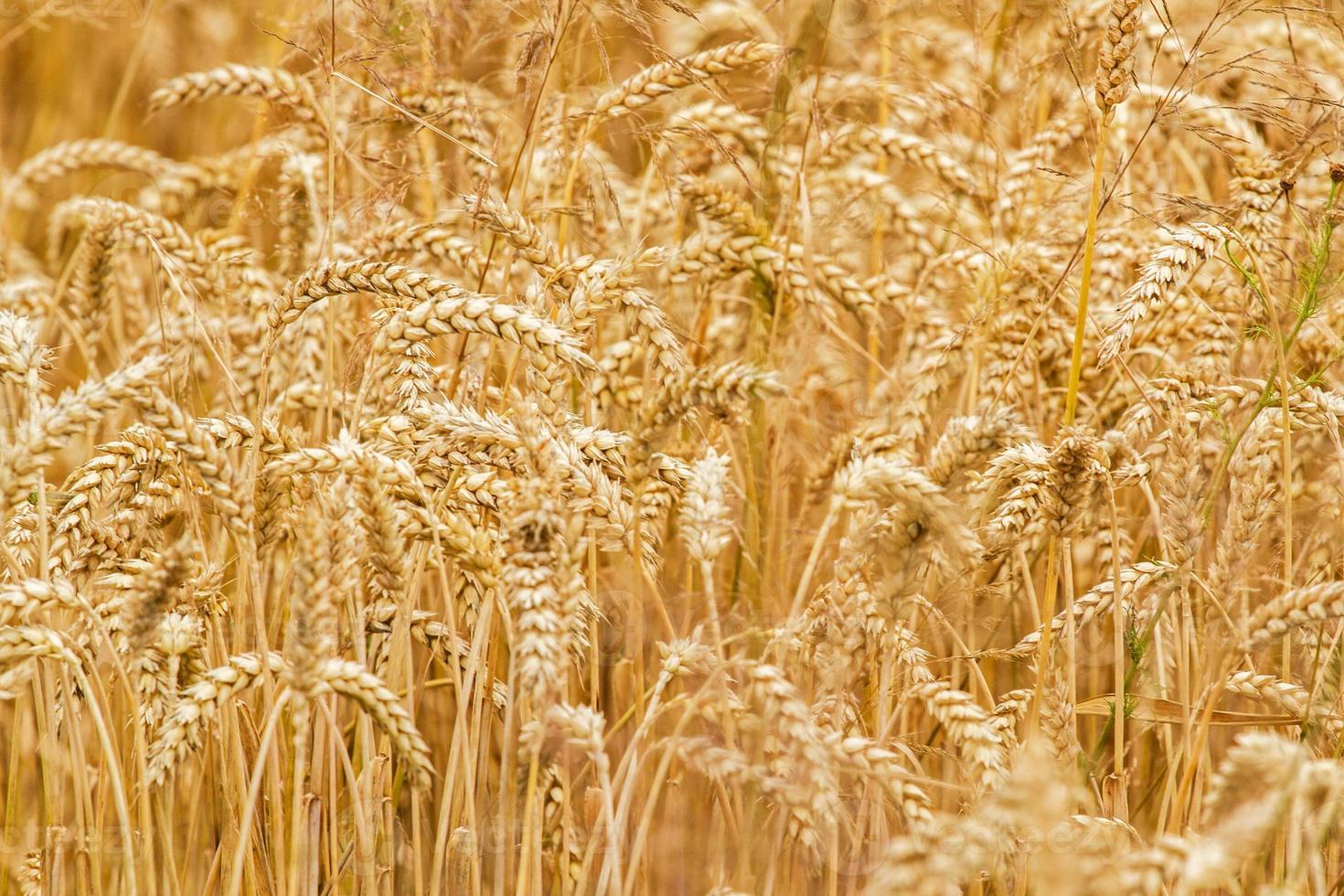 primo piano del giacimento di grano come fondo della natura foto