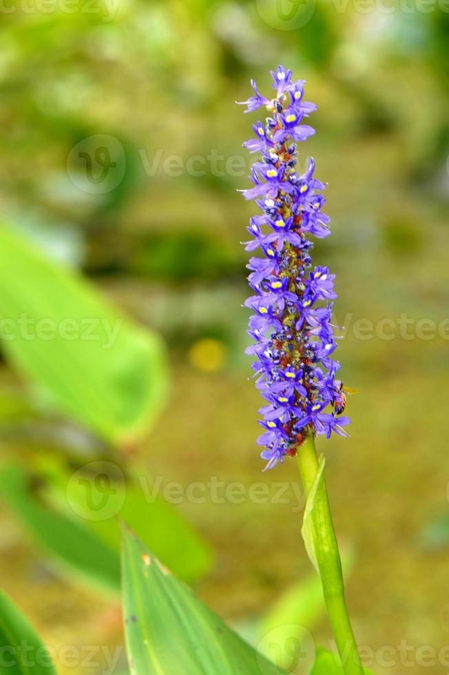 dactylorhiza comunemente chiamata orchidea palustre o orchidea maculata foto