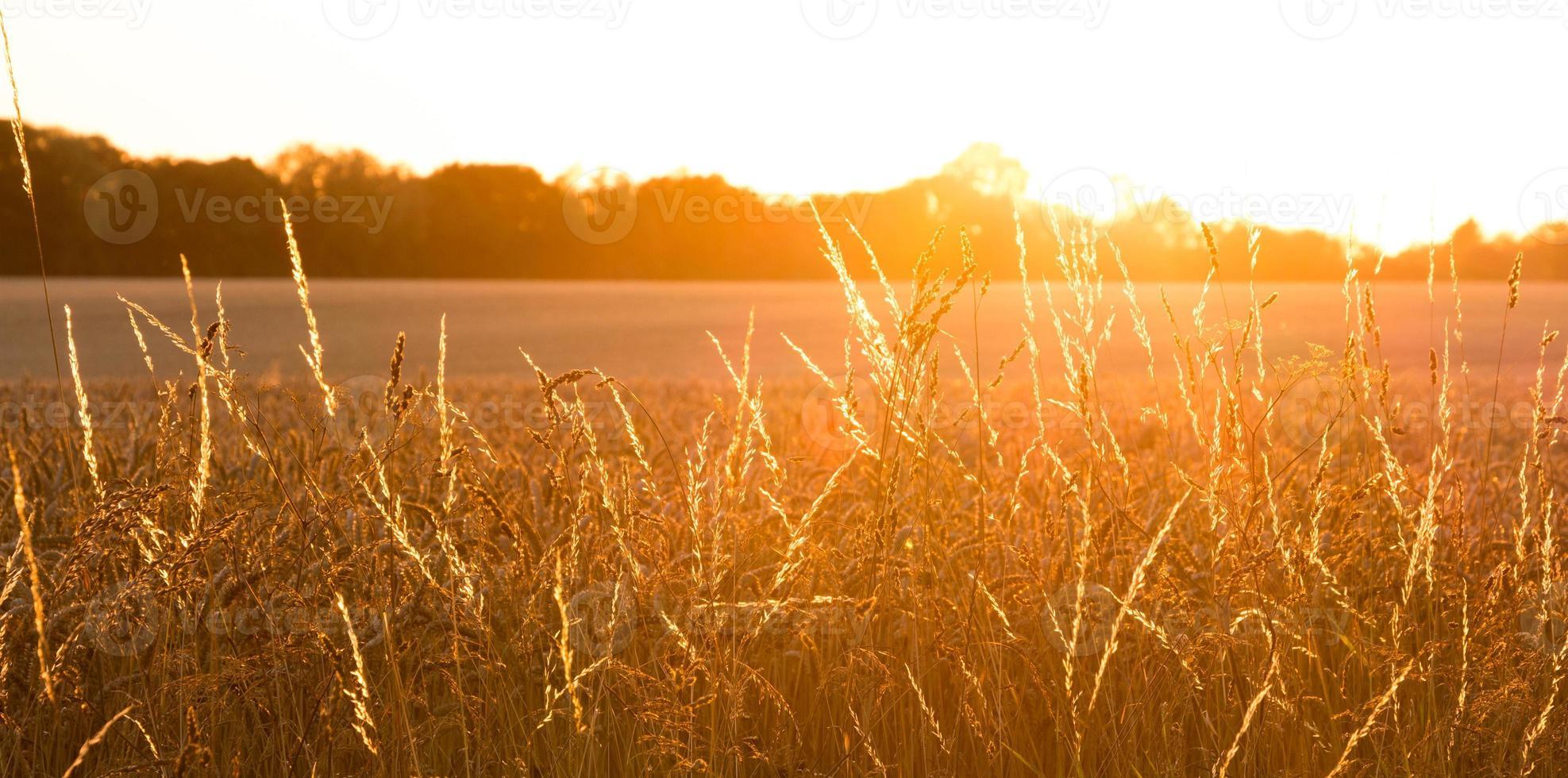 campo di grano dorato con panorama di raggi di sole foto