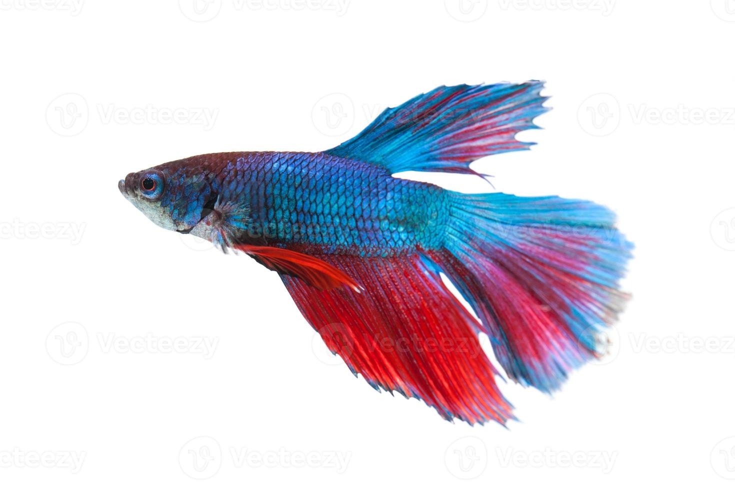 pesce combattente siamese isolato su sfondo bianco foto