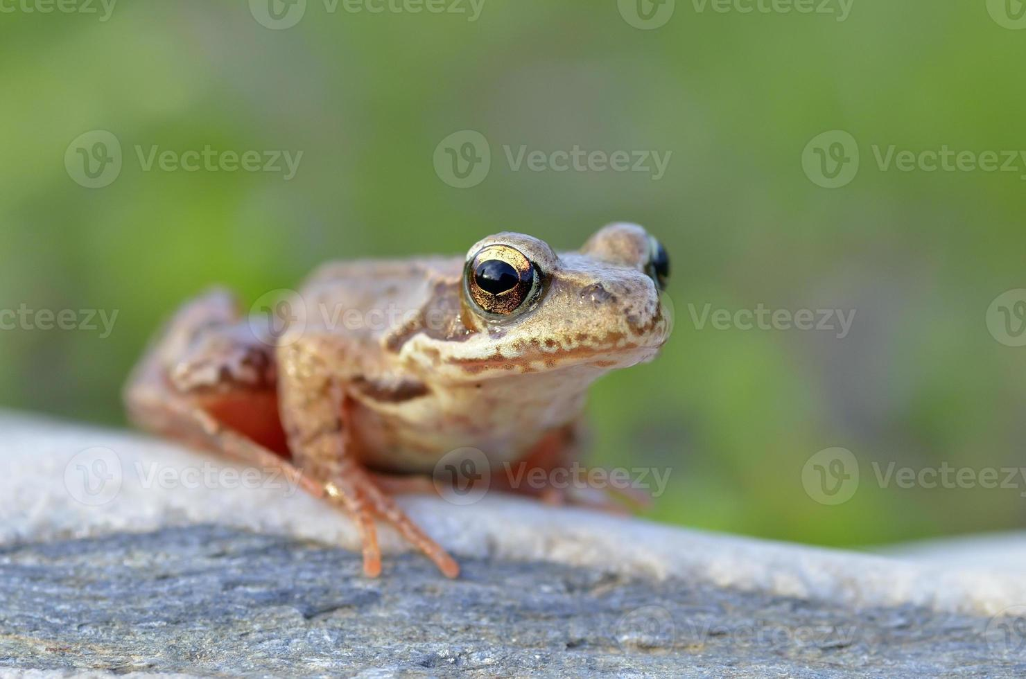 la rana comune, rana temporaria foto