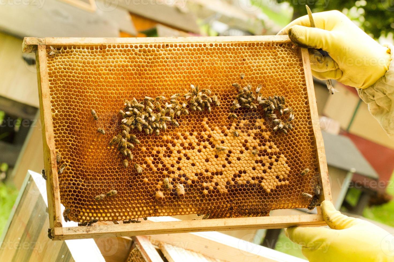 apicoltore che tiene una cornice di nido d'ape foto
