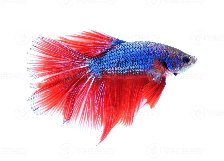 pesce combattente siamese, betta isolato su sfondo bianco. foto