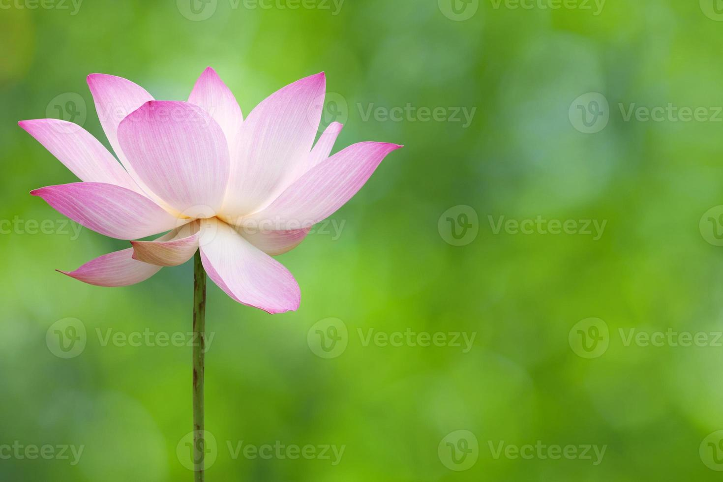 fioritura dei loti foto