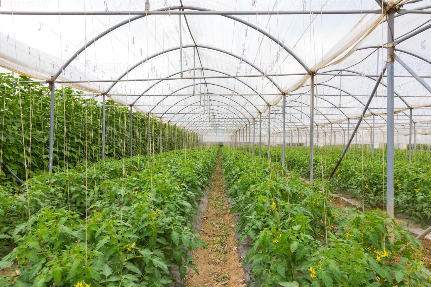 bio pomodori che crescono nella serra. foto