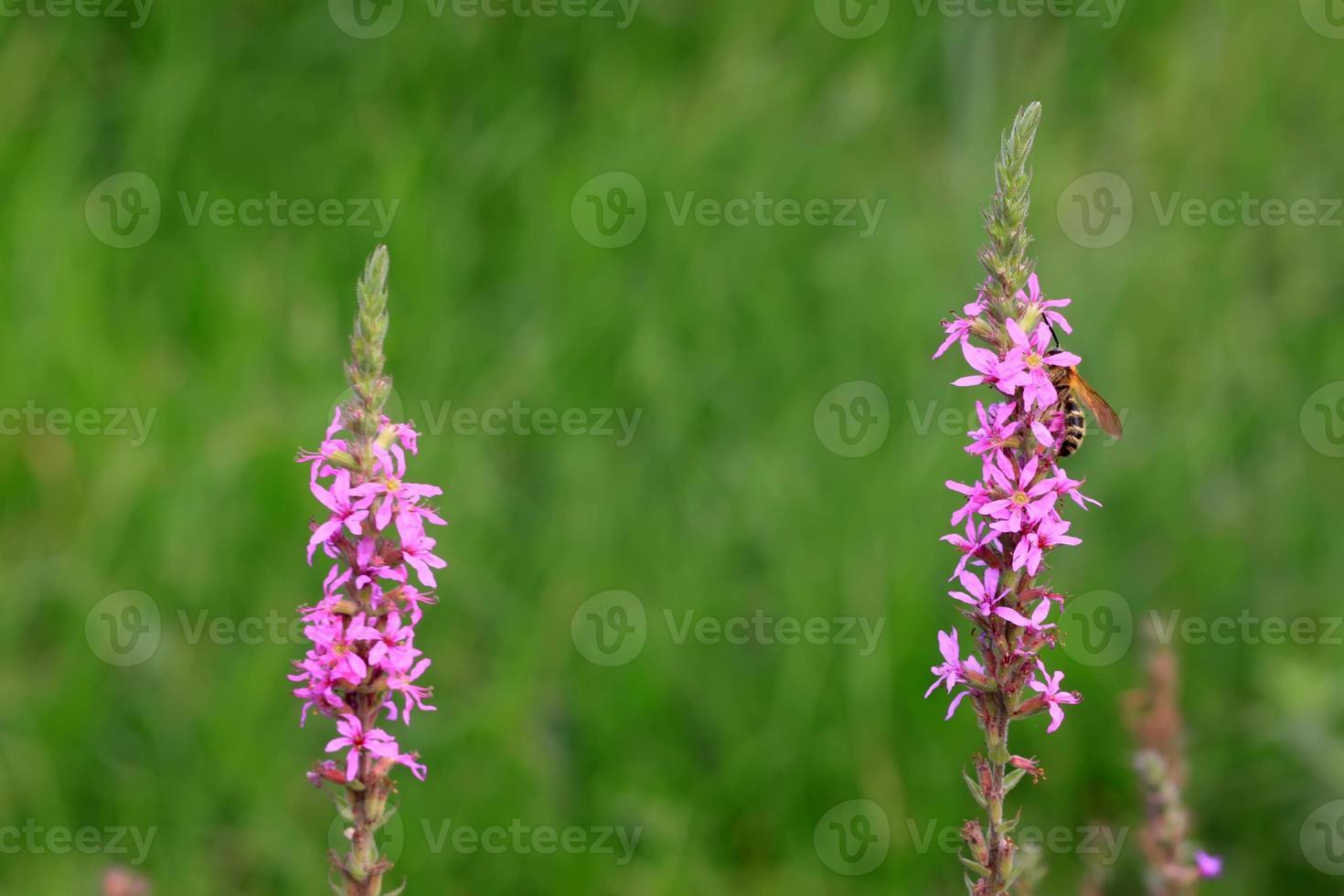 fiori di lythrum salicaria foto