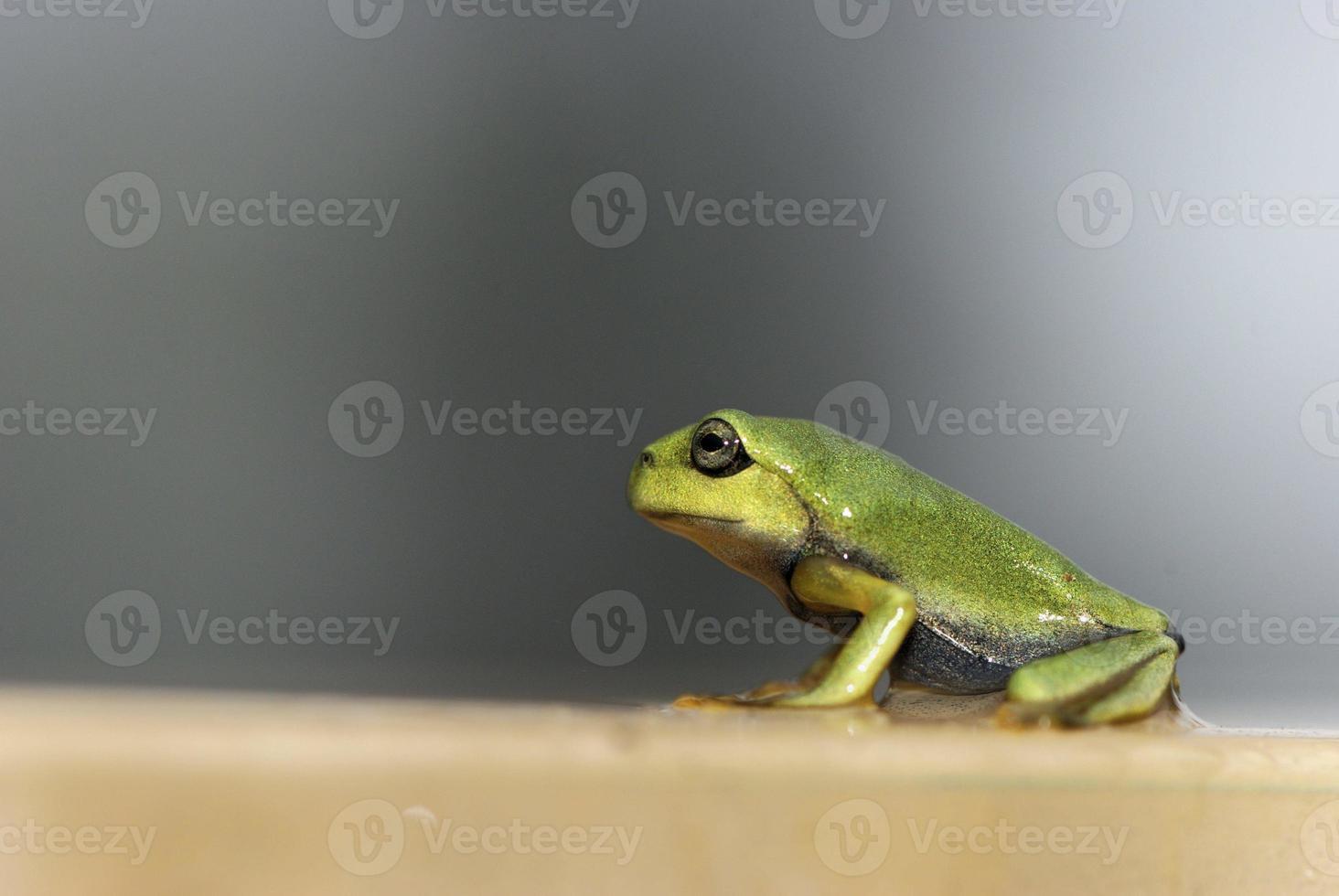 raganella verde foto