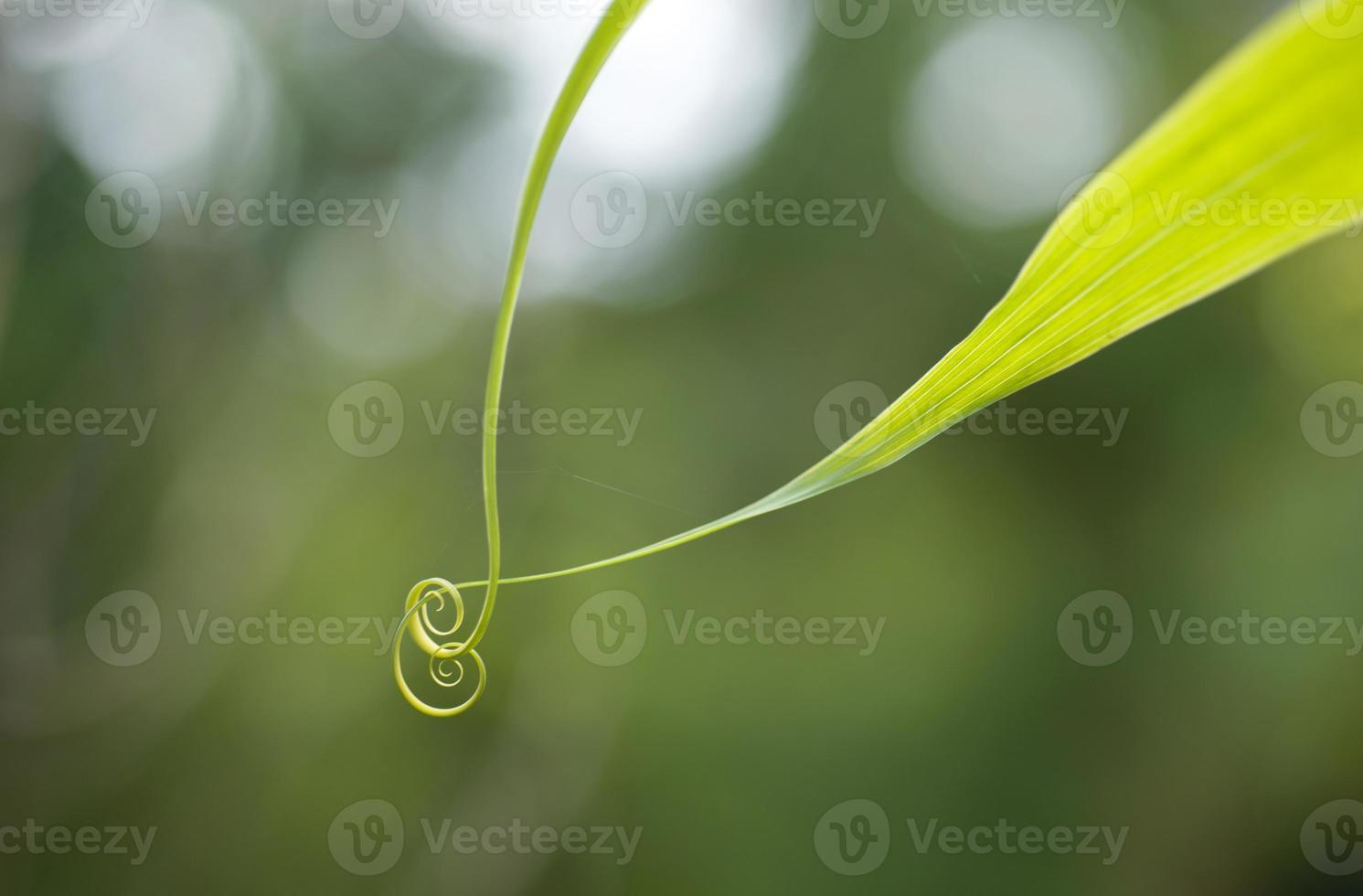 stretta di foglia verde a spirale foto