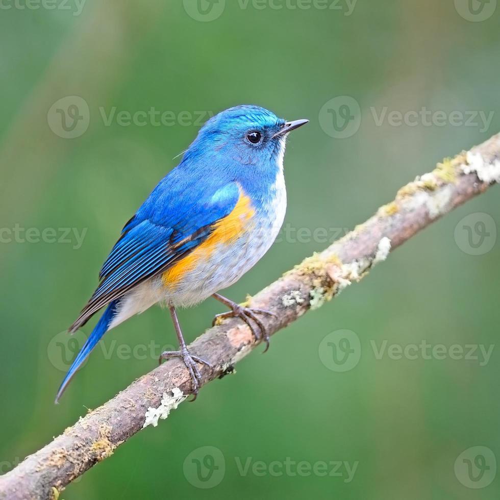 bluetail himalayana foto